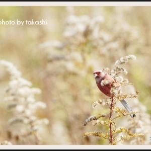 種子を啄ばむベニマシコ