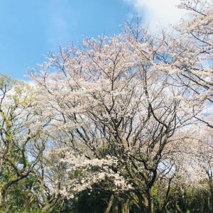 桜、さくら。