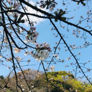 桜と白菜の花芽。