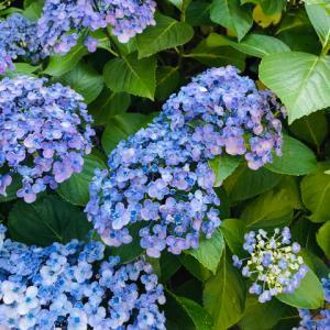 紫陽花の季節ですね♪
