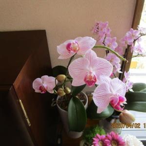胡蝶蘭がふたたび咲いています。