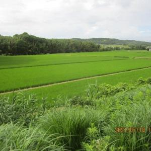 コロナ時代でも稲は生長しています。