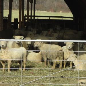 ヨークシャー・ファームの羊たち