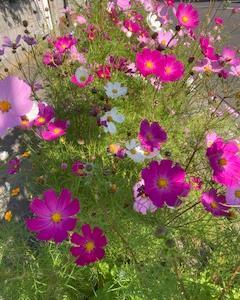 コスモスがきれいに咲いている釧路の街