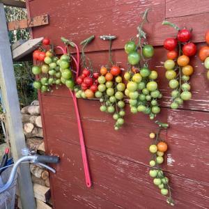 「完熟トマトと、未熟トマト」