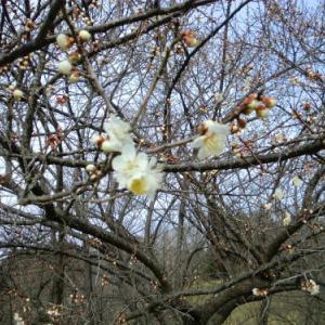 香る【梅花】と桜の開花予想