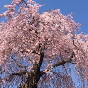 満開の桜に心癒されて