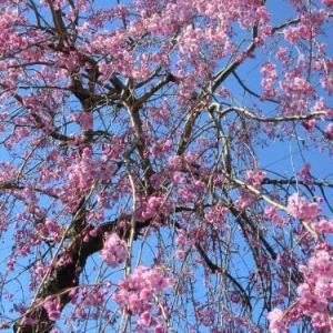 我が家の桜(枝垂れ桜)満開!
