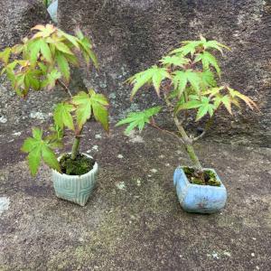 超ミニ盆栽 小学校のモミジ