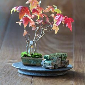 超ミニ盆栽 カエデの紅葉