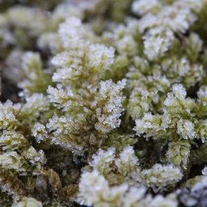 苔に降りた霜