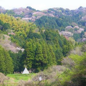 西尾市西幡豆町 小野ヶ谷地区の山桜