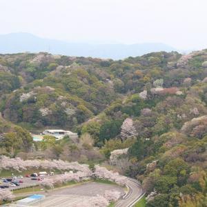 西尾市東幡豆町 愛知こどもの国の山桜