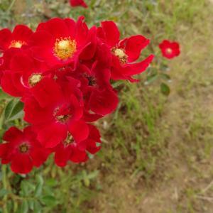 真っ赤なバラが