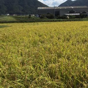 淡路島 自然栽培のさゆり米 Part2