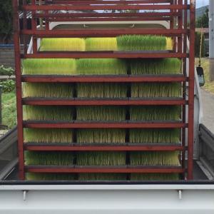 淡路島 自然栽培のさゆり米 できるまで♪