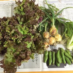 いよいよ畑の野菜たちをお届けできます(≧▽≦)♪