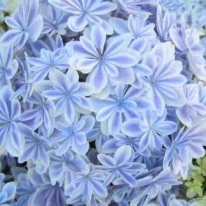 母の日アジサイ鉢植え人気品種 万華鏡・銀河・フェアリーアイ