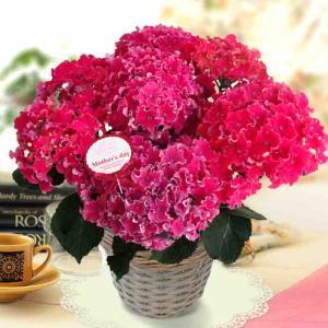 母の日アジサイ鉢植え人気最新品種「カーリースパークル・サファイアブルー・ひかりチルドレン」