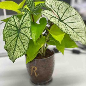 プランツギャザリング 観葉植物ガラス容器植え