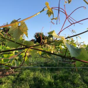 久しぶりの醸造用葡萄