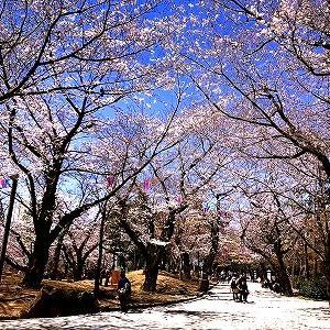 3629 【呑みモン137】飛鳥山の桜2020と「青森・田子町のビール」・・王子