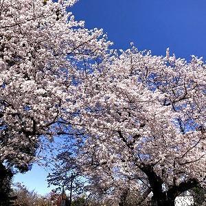 3631 【スイーツ318】ソメイヨシノの故郷2020と「芥川のカカオ算盤チョコ」・・染井