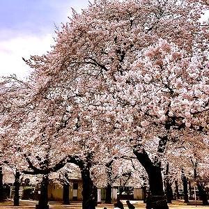 3633 【揚げモン82】突然の番組中断!鴻巣の桜2020と名物「こうのすコロッケ」