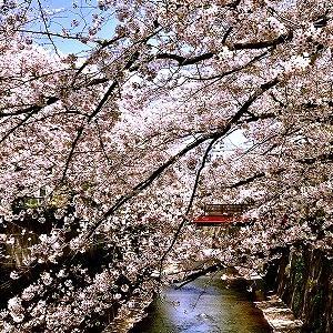3634 【今川焼き92】東京一長い桜並木2020と「日本一厚いたい焼き」・・板橋