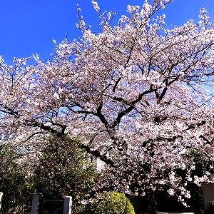3635 【麺類色々393】「女性向けの二郎」と枝垂桜の街・・本駒込
