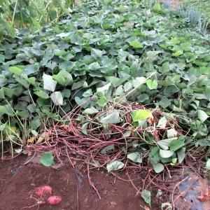 サツマイモの試し掘り、オクラの花と実(2019/10/07)