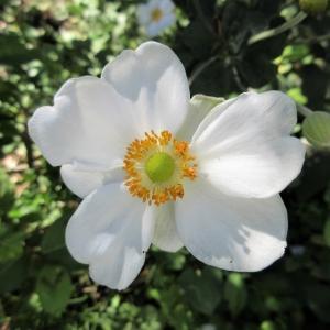 シュウメイギク(秋明菊)が咲き始めました。
