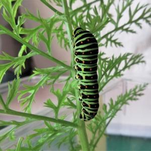 キアゲハ幼虫観察記(1):キアゲハの幼虫の引っ越し