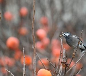 柿の実に集う鳥たち(1):ムクドリ