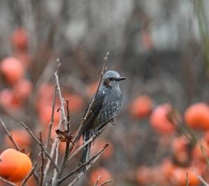柿の実に集う鳥たち(3):ヒヨドリ