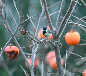 柿の実に集う鳥たち(4):シジュウカラ