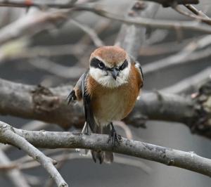 柿の実に集う鳥たち(5):モズ