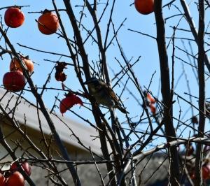 柿の実に集う鳥たち(6):ツグミ