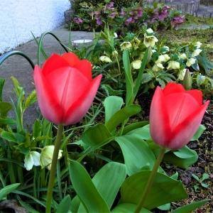 チューリップ(赤・白)が咲き出しました(2020/04/03)