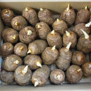 サトイモの畝づくりと種芋の植付け 1(2020/04/16)