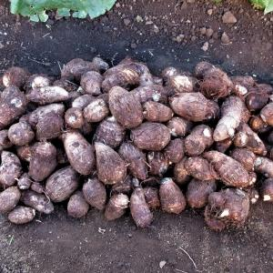 サトイモを収穫しました(2020/12/04)