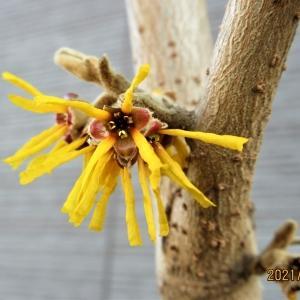 マンサク(黄花と赤花)が咲き出しました(2021.01.26)