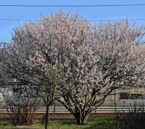 暖地桜桃(暖地さくらんぼ)に「若いサクランボ」の実がつきました。