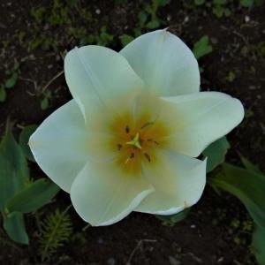 行く春を惜しむ(3): チューリップ・赤・白・黄色