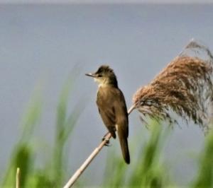 野鳥歳時記(2021/05/10 記):オオヨシキリ、セッカ、ミサゴ、カワウ