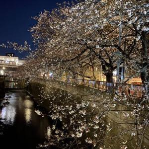 朝なのに夜桜