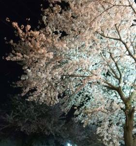 夜のお散歩より。。。秦野の桜~
