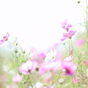 秋桜でロケフォト