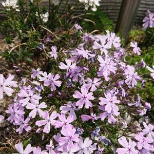 薄紫の芝桜♪