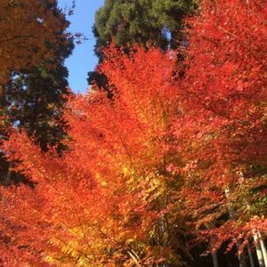 師走です。今年の紅葉は樂谷寺